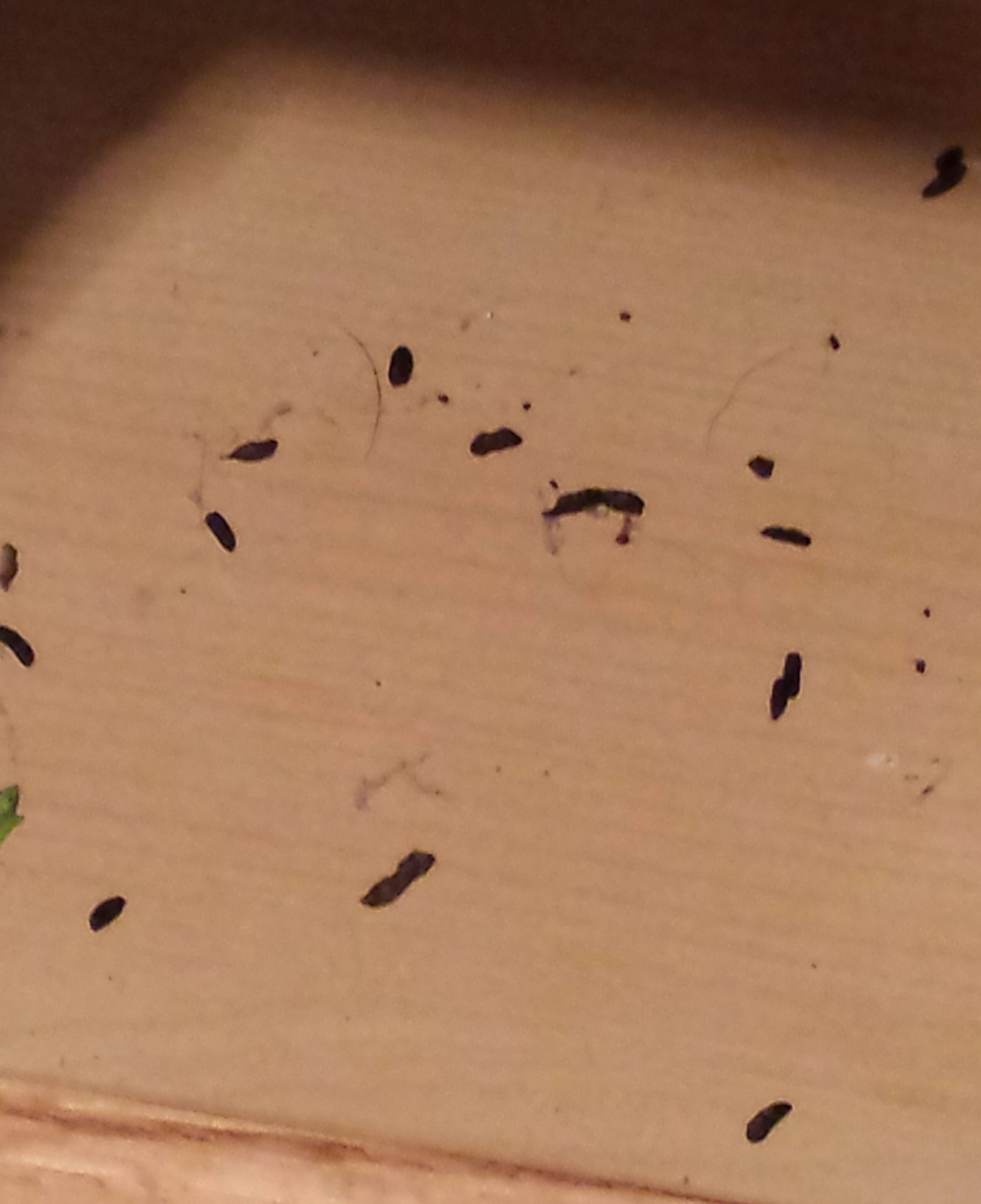 Mouse droppings look like