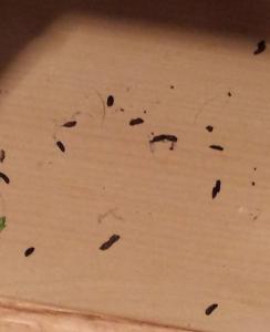 mice poop